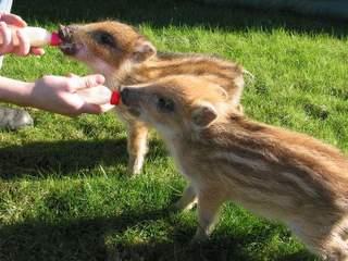 Das kleine miese Schwein.